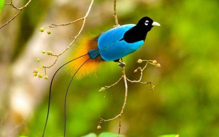 birds-of-paradise-hd-wallpapers-beautiful-desktop-background-widescreen
