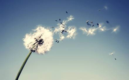awesome-dandelion-flower-photo-high-definition-full-screen-wallpaper-free