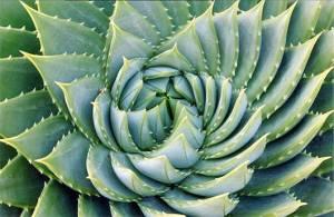 Espiral de Aloe Vera